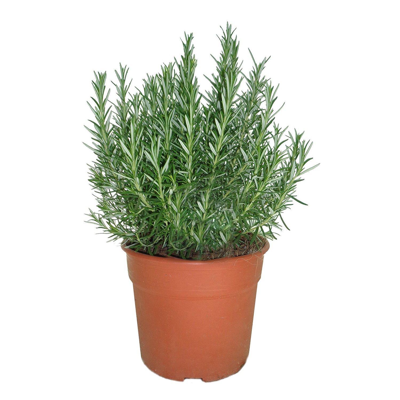 Maceta planta de romero cultivos tamarit for Plantas de exterior en maceta